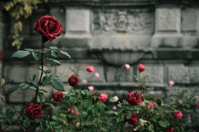 Роза цветок роза цветы растения красная