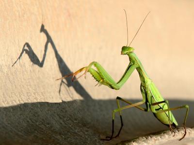 Богомол природа насекомые богомол тень