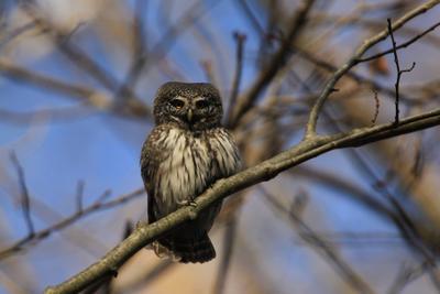 Тихий час бывает и у птиц ... Воробьиный сыч Glaucidium passerinum мелкая сова птица природа