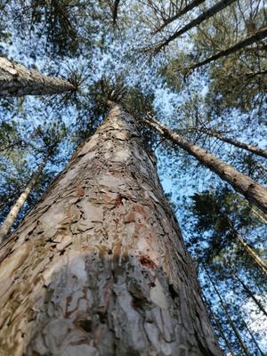 Высота Лес небо прогулка собака шишка елка ветки кора
