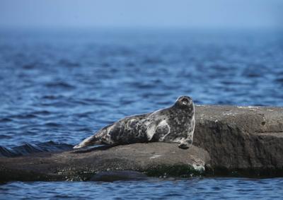Царь, просто - царь ладожская нерпа тюлени ладожское озеро карелия
