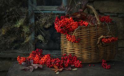 Урожай рябины Южный-Урал