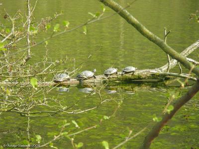Черепашковый паровозик черепаха
