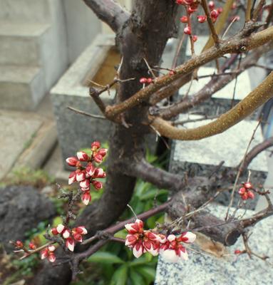 Слива. Цветёт. Слива цветение Токио Фукагава