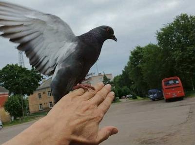 Человек и голуби. человек голуби рука птицы