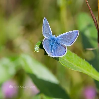 Бабочка голубянка насекомое макро бабочка