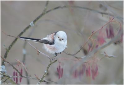 В лиловом тумане птица ополовник лиловый туман серёжки ольха японистое