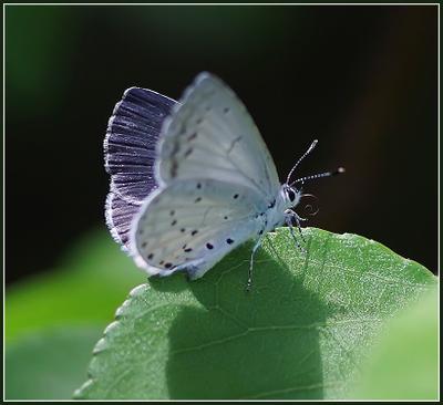 *** Бабочка голубянка