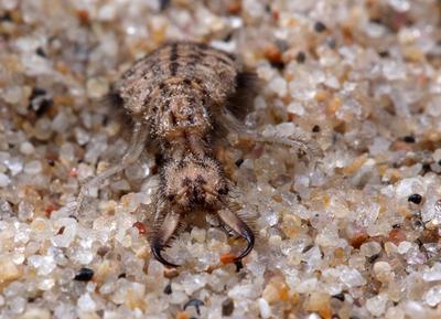 Гадкий львёнок личинка муравьиного льва