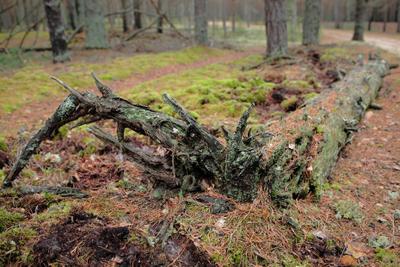 Лес (старая сосна) лес сосна
