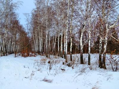***Сестрички. лес опушка березы зима