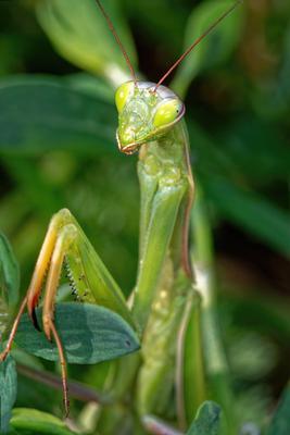 Mantis religiosa (Богомол) богомол макро насекомое жук canon