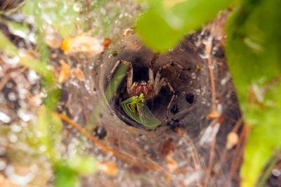 Нашу муху в уголок поволок паук паутина лес муха золотоглазка