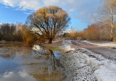Мартовское дерево (3) Ива ломкая или ракита Salix fragolis март