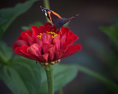 бабочка макро бабочка цветок