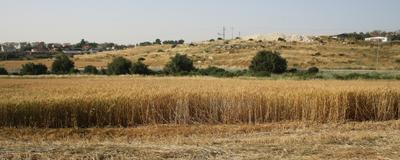 ***Пшеница в Израиле Латрун