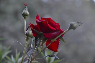 Донна Роза Роза