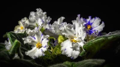 Фиалочки. цветы макро