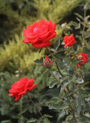 Розы Розы