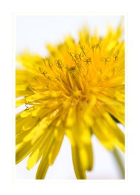 Карманное солнце цветок одуванчик карманное солнце