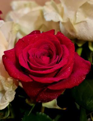 В окружении белых роза красная цветок