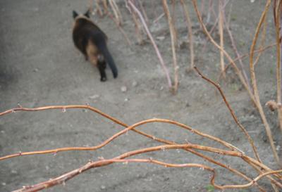 Уходим... весна сиамская кошка