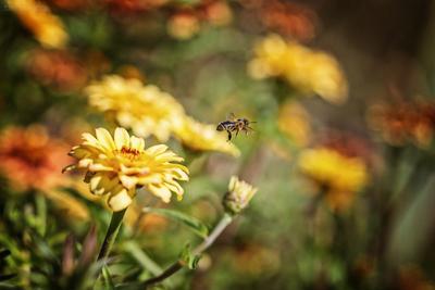***Мой сад... она улетела... но обещала вернуться... Сад Лето Цветы Цинния Пчелка