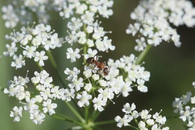La fourmie sur les fleurs муравей цветок