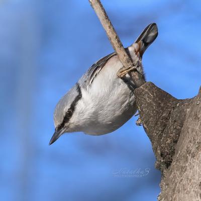 Весенний наблюдатель Поползень птица птицы клюв пернатые весна