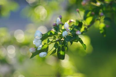 Весенняя красота Весна май цветение распускание цветки яблоня сад природа вечер