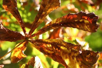 Осенние лопасти каштана