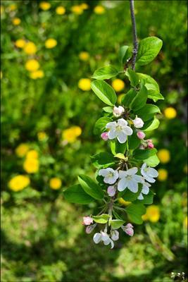 Аромат цветков яблони Весна Корея Аромат яблоко