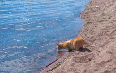 Выпить залив... Финский залив рыжий кот