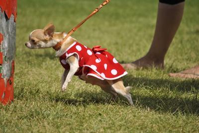 *** собака выставка чихуахуа