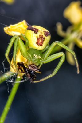 Он её голубушку мням, мням, мням... паук макро canon 70d spider насекомые
