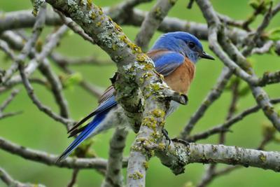 Восточная сиалия восточная сиалия птица eastern bluebird sialia sialis thrush bird
