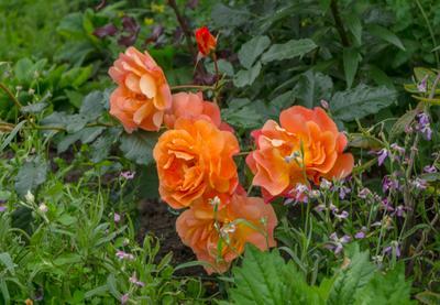 Пусть лето продолжается! лето розы настроение