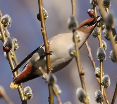 Свиристель свиристель птица