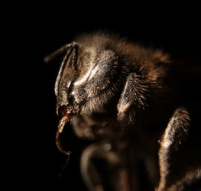 Мордочка пчелы. Шаварёв природа фотография