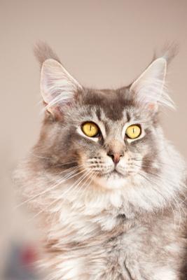 Мейн кун кот кошка мейн кун