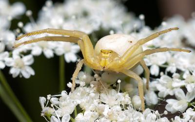 Добро пожаловать! паук бокоход misumena vatia мизумена косолапая цветок макро