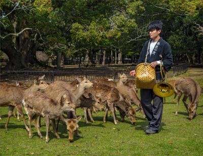 Необычная профессия олени Нара Япония служащий