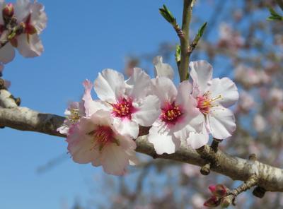 С весной! цветы миндаль весна