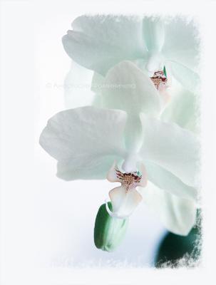 Из сада Снежной Королевы... орхидея фаленопсис