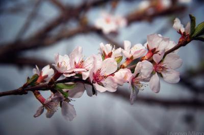 Весна весна цветы вишня природа