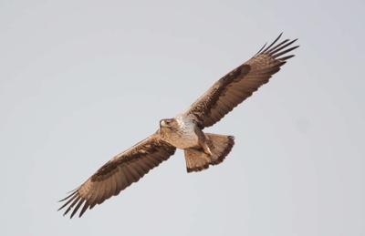 Орел Боннели орел