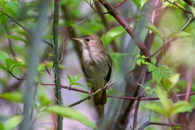 Соловушка весна птицы соловей
