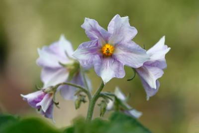 Картошечка зацвела картошечка картофель цвет цветы