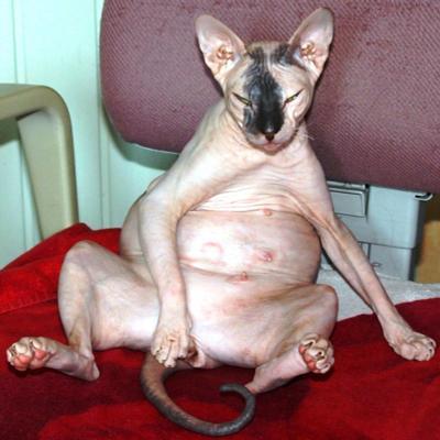 ну что смотрите, кошек  беременных не видели... и токсикоз у меня, как у всех сфинксы, донскиеие сфинксы, голые кошки,