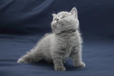 Разминочка котенок, британец